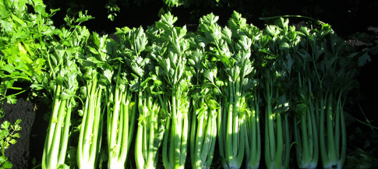 Wisconsin celery grower starts Midwest harvest | Produce