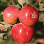 Crimson Gold Crab Apple